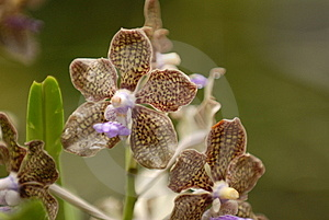 Spotted Orchid Royalty Free Stock Image - Image: 727706