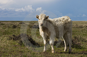 Cow In Field Royalty Free Stock Image - Image: 733296