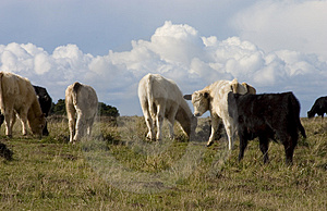 Cows In Field Stock Photo - Image: 733300