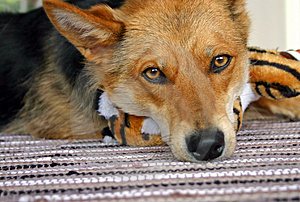 Sad Dog Stock Photography - Image: 735432