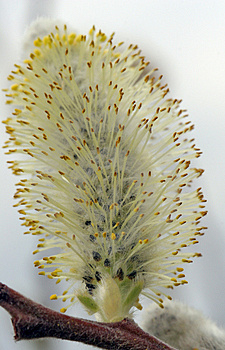 Pussy Willow Blossom Close Up Of The Stamen Stock Image - Image: 737131