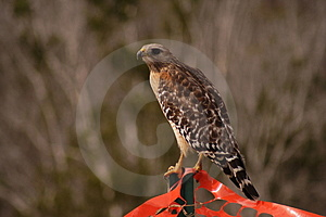 Hawk Royalty Free Stock Images - Image: 739239