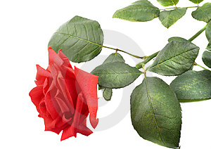Beautiful red rose Royalty Free Stock Photography