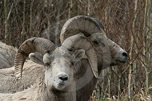 Long Horn Sheep Stock Image - Image: 749471