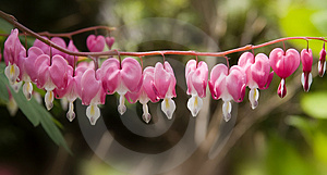 Row Of Bleeding Hearts. Stock Image - Image: 751351
