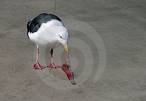 Seagull Eating Royalty Free Stock Photography - Image: 756677