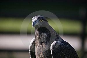 Eagle Stock Image - Image: 7701851