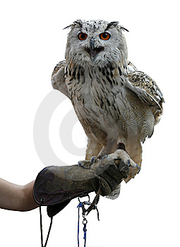 Falconry Stock Images - Image: 7703424