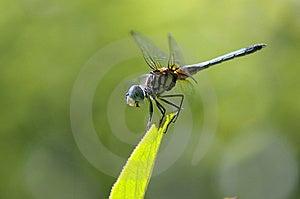 Dragon-fly On A Leaf Stock Photos - Image: 7703623