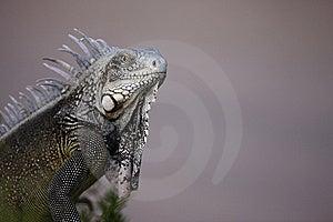 Green Iguana (Iguana Iguana) Royalty Free Stock Images - Image: 7707199