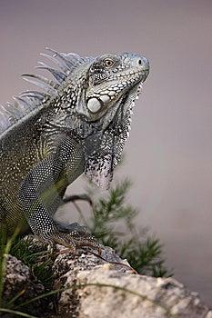 Green Iguana (Iguana Iguana) Royalty Free Stock Image - Image: 7707246