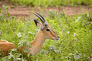 Impala Stock Photo - Image: 7708610