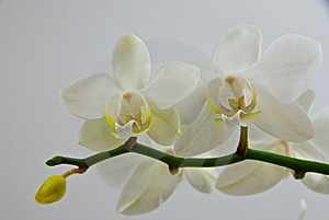 Delicate Orchid Stock Photography - Image: 7708622