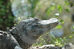 Alligator Stock Image - Image: 7708671