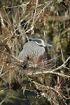 Heron Royalty Free Stock Image - Image: 7708816