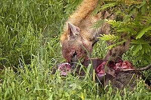 Hungry Hyenas Royalty Free Stock Image - Image: 7709136