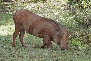 Feeding Warthog Stock Image - Image: 7710611