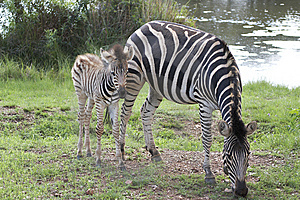 Zebra And Foal Grazing Stock Images - Image: 7710724