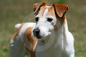 Jack Russell Royalty Free Stock Photo - Image: 7713185