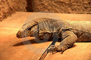 Lizard Stock Photos - Image: 7714003
