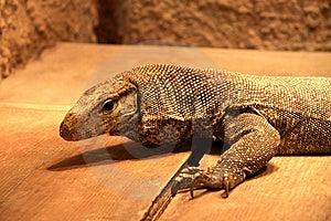 Lizard Stock Photos - Image: 7714003