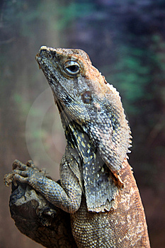 Lizard Royalty Free Stock Image - Image: 7714026