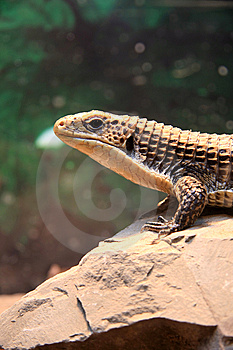 Lizard Royalty Free Stock Photos - Image: 7714058