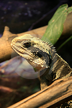 Lizard Royalty Free Stock Photography - Image: 7714167