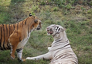 Tigers Royalty Free Stock Image - Image: 7714846