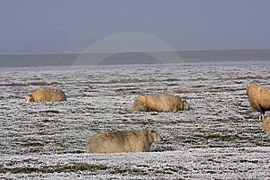 Sheep In The Winter Stock Photos - Image: 7730753
