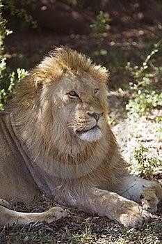 Jeune Lion Photographie stock libre de droits - Image: 7731067