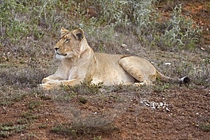 Lone Lioness Stock Images - Image: 7731444