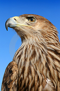 Assidenous Eagle Royalty Free Stock Photos - Image: 7731948