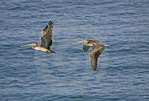 Brown Pelicans In Flight Royalty Free Stock Photos - Image: 7732318