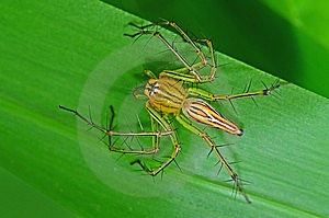 Lynx Spider In The Park Stock Photos - Image: 7738103