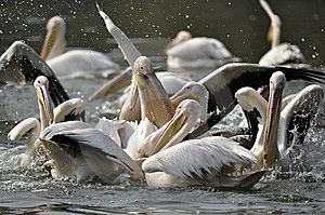 Rosy Pelican Royalty Free Stock Photography - Image: 7739187