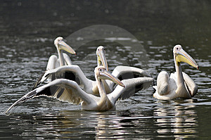 Rosy Pelican Royalty Free Stock Photos - Image: 7739348