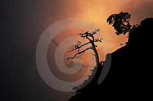 Pine Tree At Barranca,eve Moment Royalty Free Stock Photography - Image: 7740007