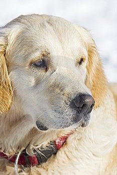 Golden Retriever Stock Photos - Image: 7740363