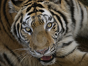 Tiger Head Stock Photo - Image: 7749810