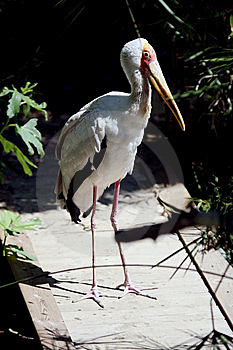 Mycteria Ibis Royalty Free Stock Photos - Image: 7750698