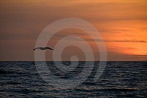 Sunset Pelikan Royalty Free Stock Images - Image: 7752729