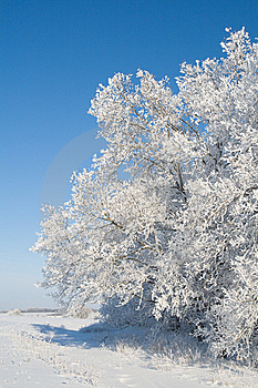 Edge Of Oak Groove - Twigs Covered With Snow Stock Photo - Image: 7753470