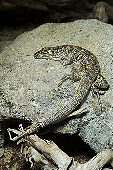 A Brown Lizard Stock Images - Image: 7753794