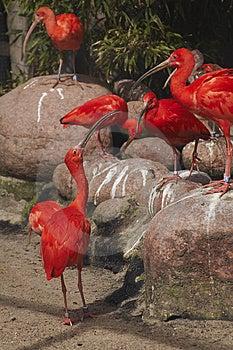 Pássaros Vermelhos Fotos de Stock Royalty Free - Imagem: 7754348