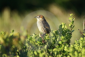 Cape Grassbird Stock Photos - Image: 7758773