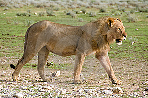Lion Walking By, Namibia Royalty Free Stock Image - Image: 7759916