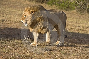 Approaching Carnivore Stock Images - Image: 7770094