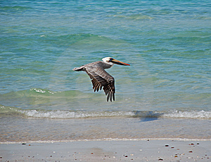 Pelican Flying Royalty Free Stock Photography - Image: 7774077