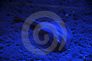 Sting Ray Royalty Free Stock Photos - Image: 7777878